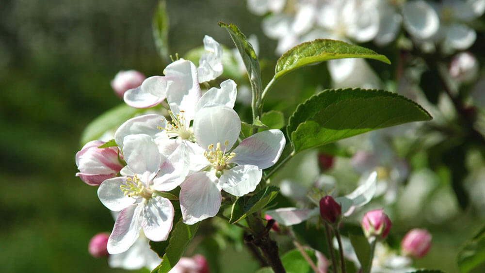 La festa della fioritura a Naz/Sciaves: l'high light di una vacanza in aprile