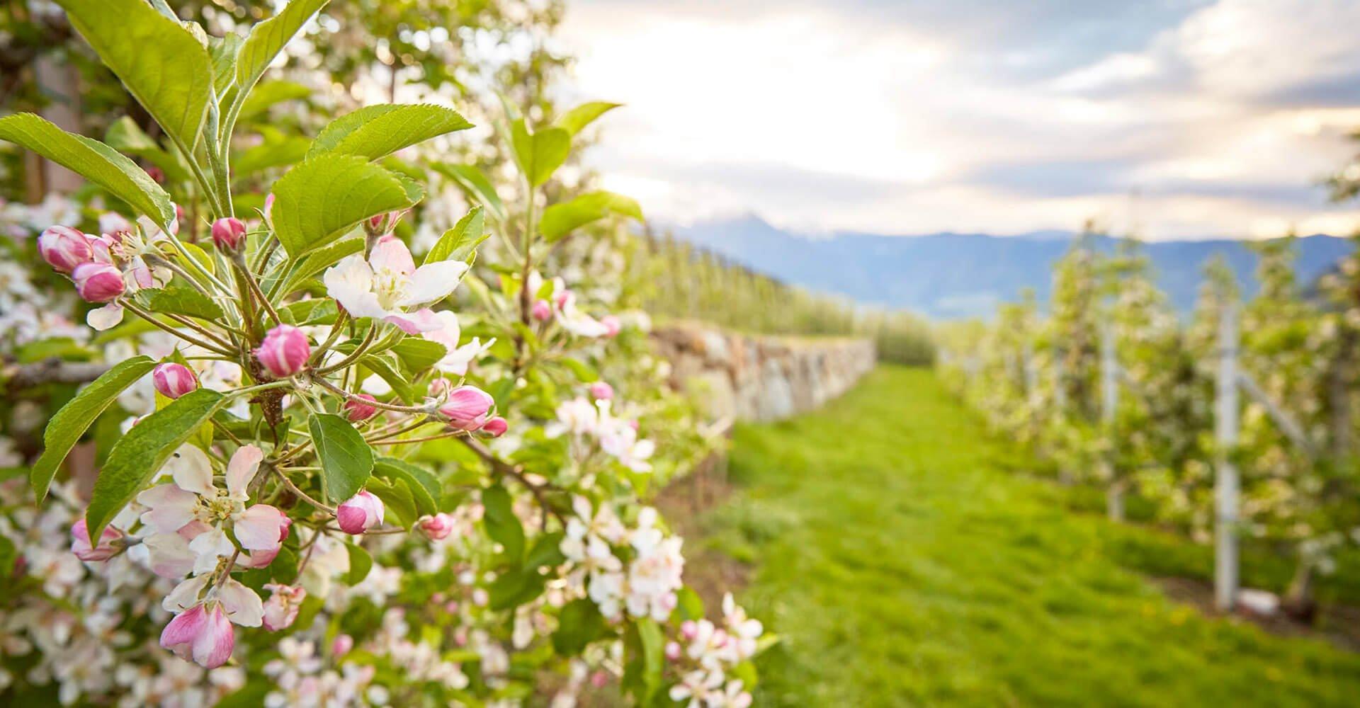 Apfelblüte im Eisacktal und Gitschberg/Jochtal